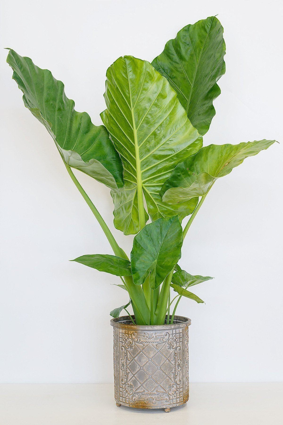 Alocasia Calidora Elephant Ear, FLORIDA DELIVERY ONLY