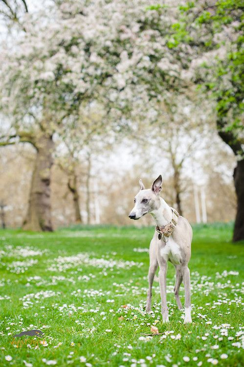 Whippet in the park.    Green Park Hound / / Kerry Jordan