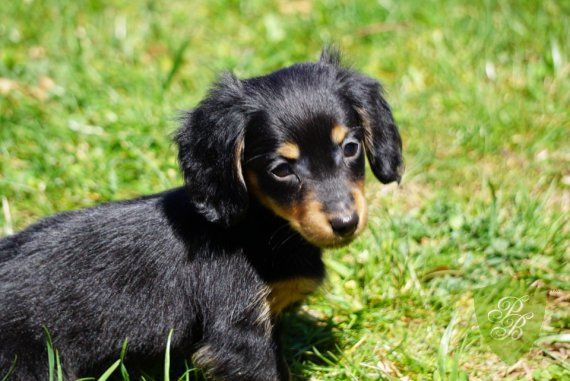 Puppies For Sale California Dachshund Breeders Dachshund
