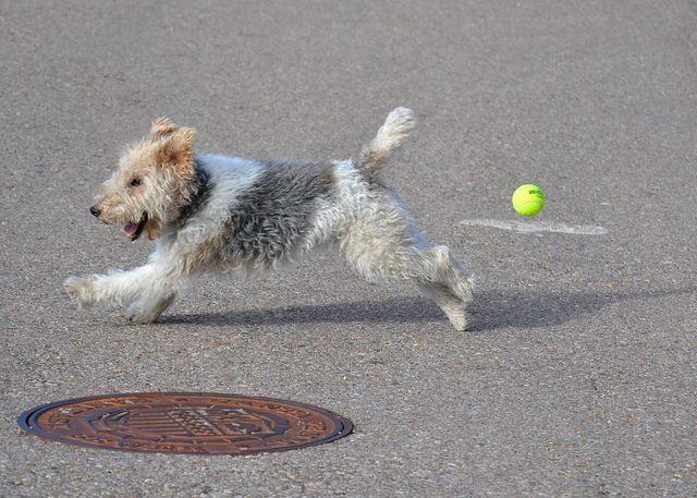 Fox terrier x