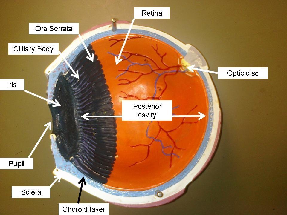 Eye models for anatomy