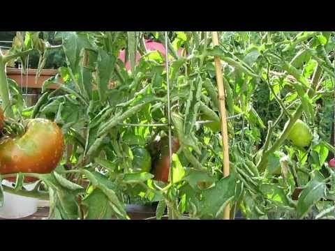 Black Krim tomato.  Has a great taste!