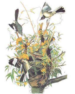 Mockingbird ant. Print by Audubon