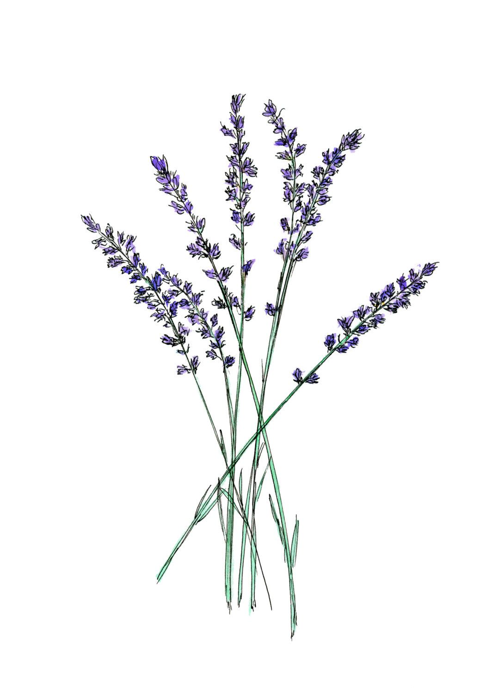 lavender drawing wwwpixsharkcom images galleries