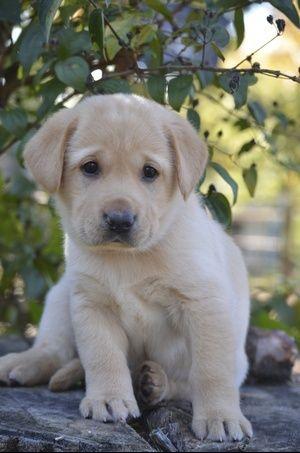 Cutie Pie Lab Puppy Www Arkansaslabs Com Yellow Labrador For Sale In Arkansas Yellow Lab Puppy Puppies Lab Puppy