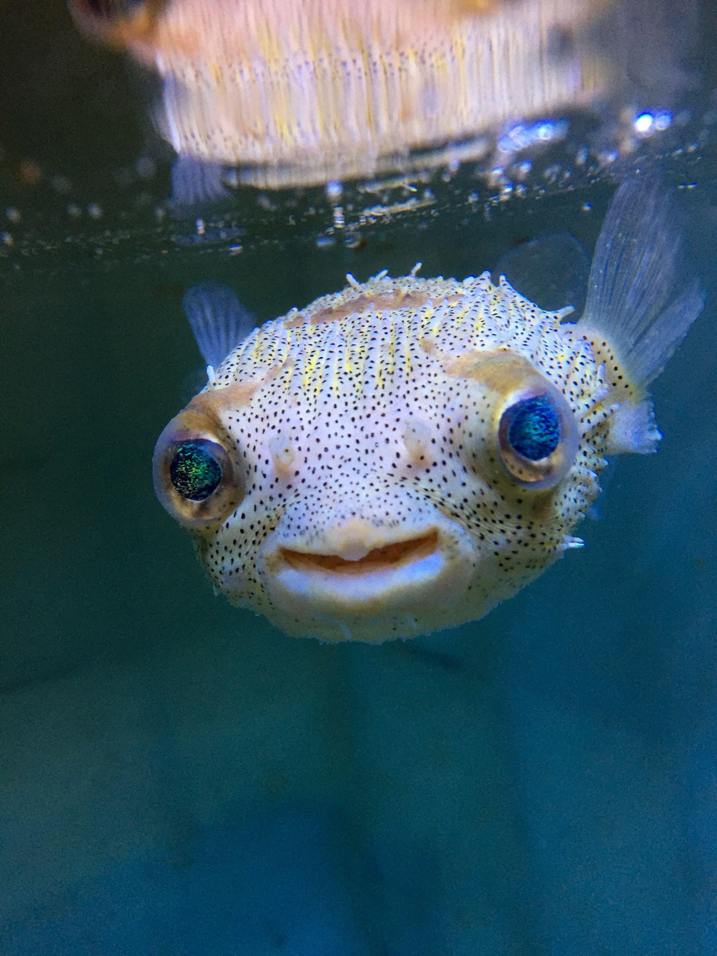 Porcupine Puffer Marine Aquarium Fish Puffer Fish Fish