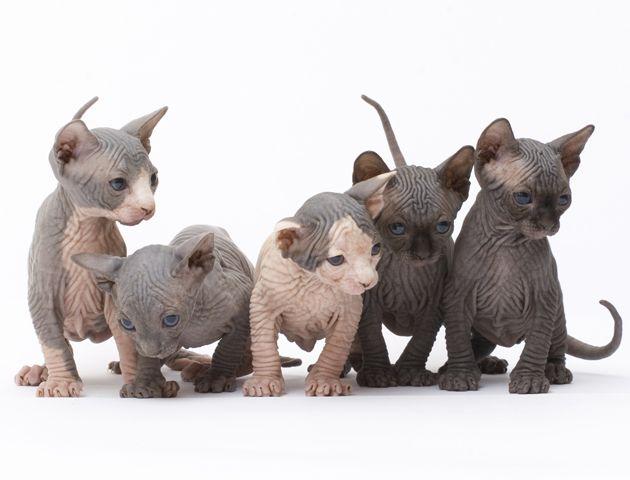 Senzacapelli Sphynx Kittens For Sale