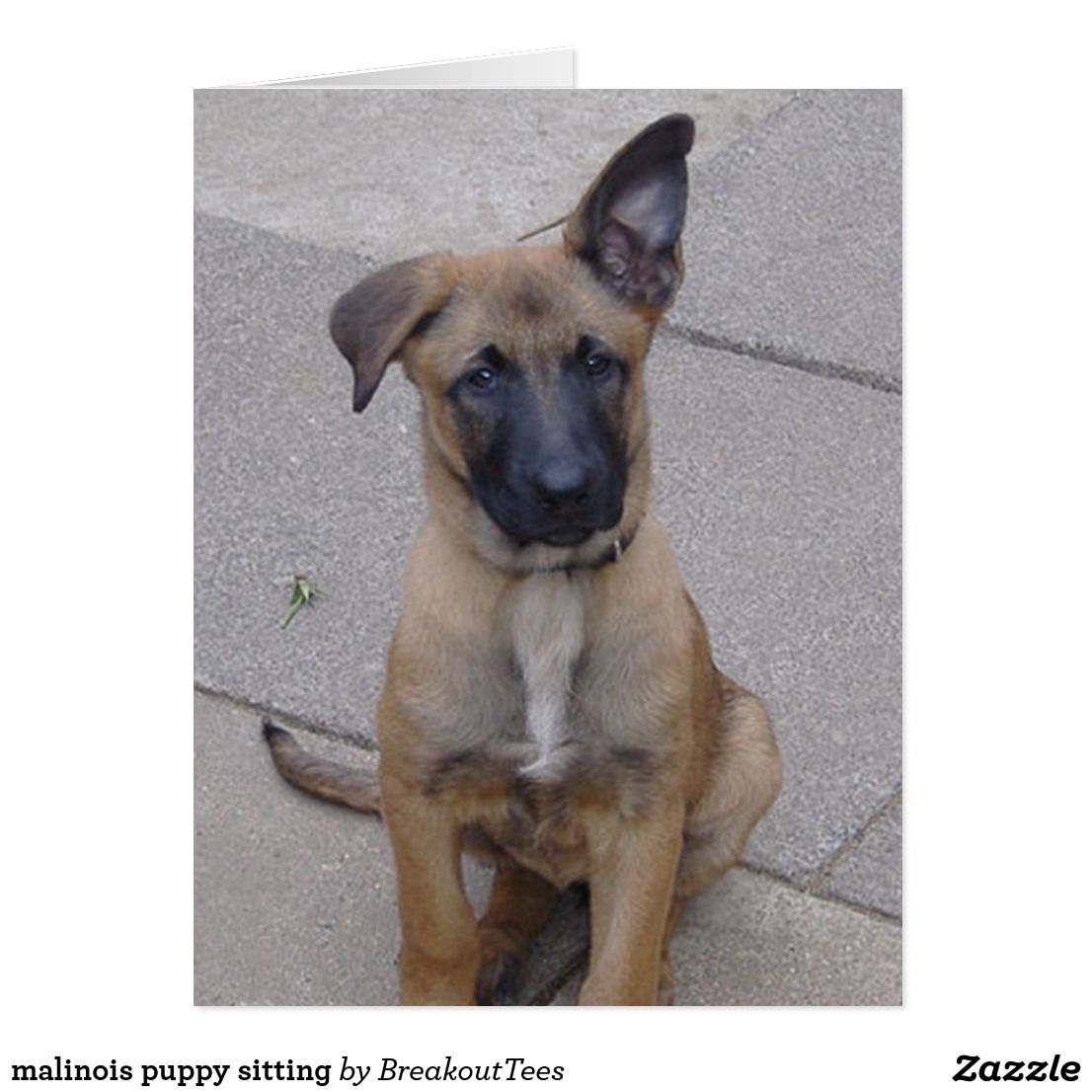 Malinois Puppy Sitting Zazzle Com Malinois Puppies Belgian Malinois Puppies Malinois Puppies For Sale