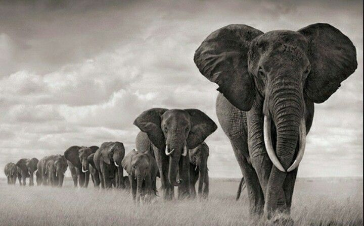 514dd01c6 Majestic African Elephant. Torn between a calm one and a charging one.