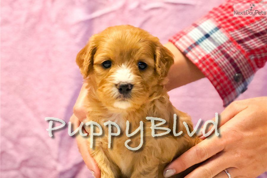 Penny Cavapoo Puppy For Sale Near Hudson Valley New York 1e1a6df8 5d81 Cavapoo Puppies For Sale Cavapoo Cavapoo Puppies