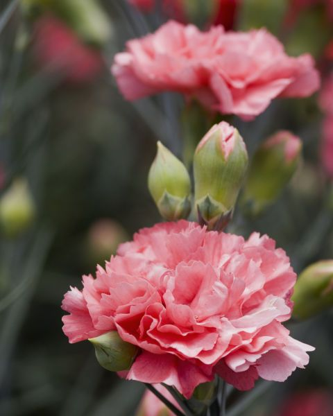 Pics Of Carnations : carnations, Reasons, Carnations, Actually, Carnation, Plants,, Flower,, Flower, Aesthetic