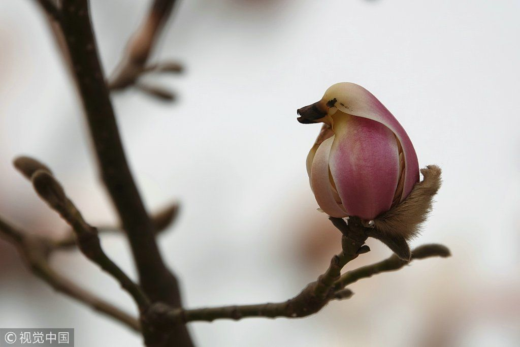 Flower Or Pretty Little Bird As Spring Arrives With Rising Temperatures Magnolia Flowers In Buds Look Like Little Pink B Magnolia Flower Plant Bud Hd Flowers