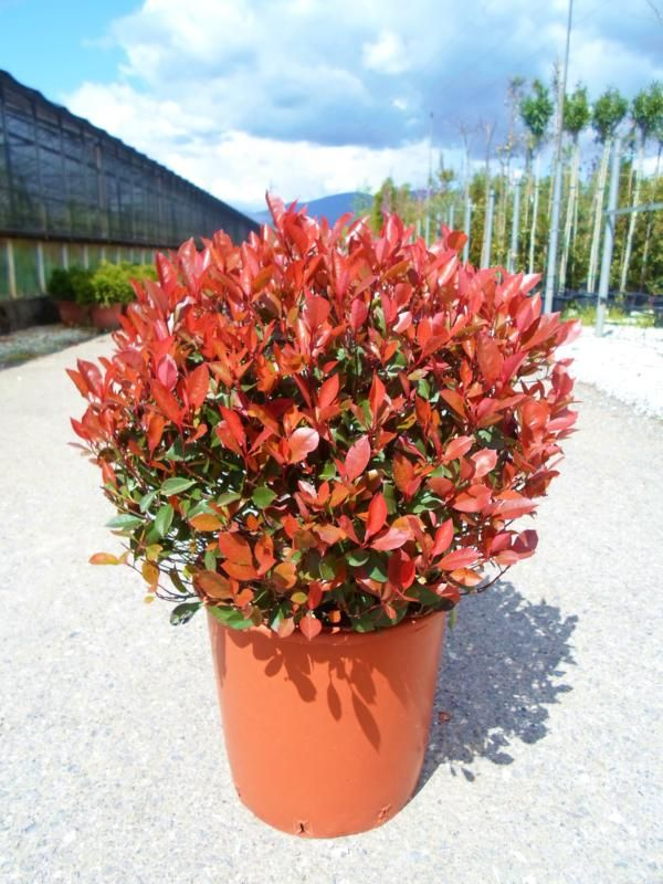 photinia x fraseri 39 little red robin 39 p x fraseri 39 nana 39 you can use this in the border as. Black Bedroom Furniture Sets. Home Design Ideas