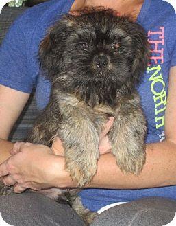 Allentown, PA Shih Tzu. Meet Bruno, a puppy for adoption
