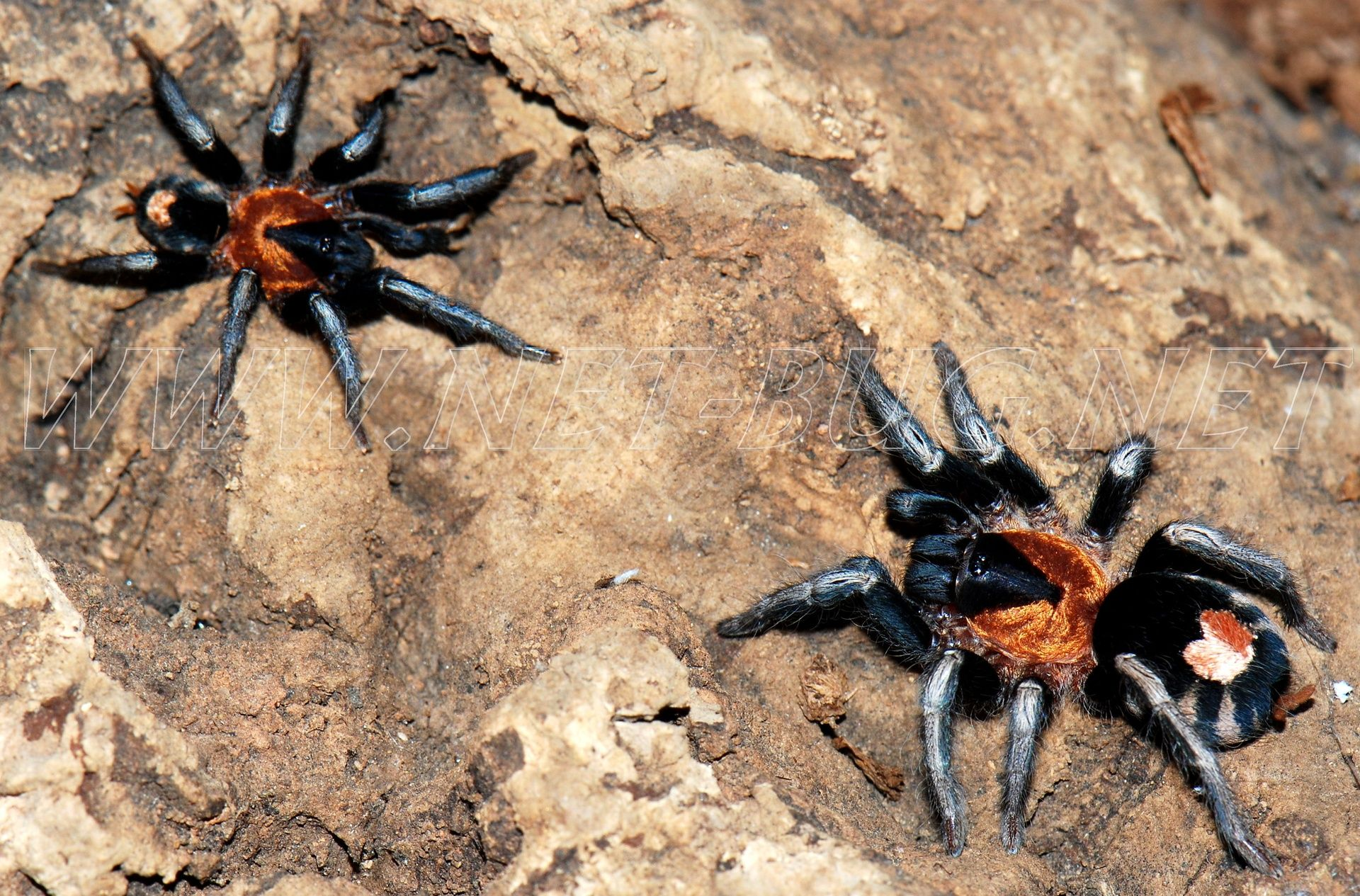 Tarantulas &Roaches for Sale | Tarantula/Spider | Pinterest