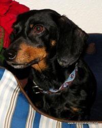 Adopt Tug Bug Pending Home On Adoptable Dachshund Dog Adopting