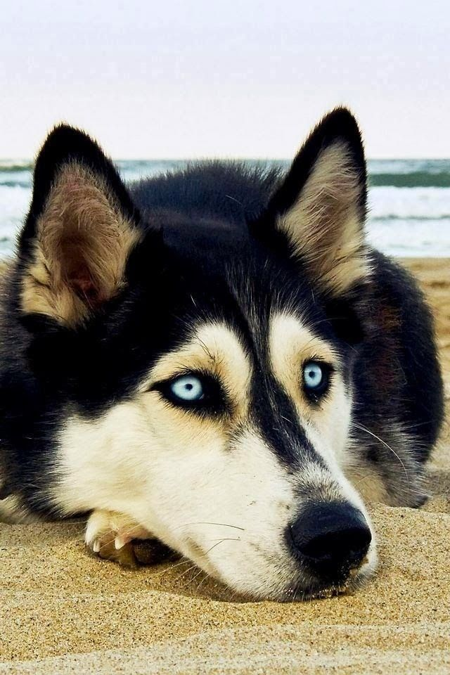 Thank You Siberian Husky On Beach Greeting Card Zazzle Com