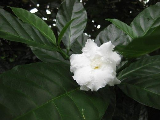 Nandyarvattam Flower Google Search Fragrant Flowers Fragrant Jasmine Flower