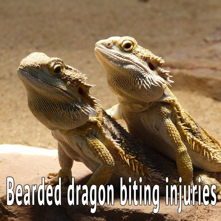 Read This If Your Bearded Dragon Has Bite Injuries Bearded Dragon Bearded Dragon Habitat Bearded Dragon Diet