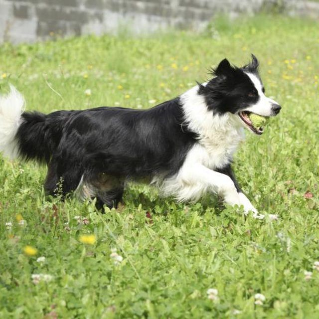 How To Groom A Border Collie Cuteness Collie Puppies Border Collie Puppies Collie Dog