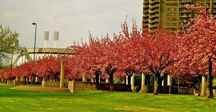 Cherry Blossoms Sawyer Point Cincinnati Ohio Cincinnati Ohio Cincinnati Ohio
