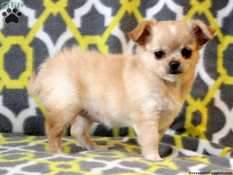 Elsa chihuahua puppy for sale in pennsylvania