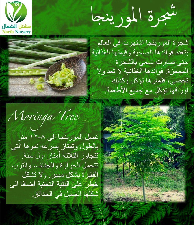 اشجار المورينجا بكافة الاحجام والاعداد متوفرة لدى مشتل الشمال بافضل الاسعار للمعلومات حول الشجرة الرجاء قراءة المعلومات الموضحة في ا Moringa Tree Moringa Tree