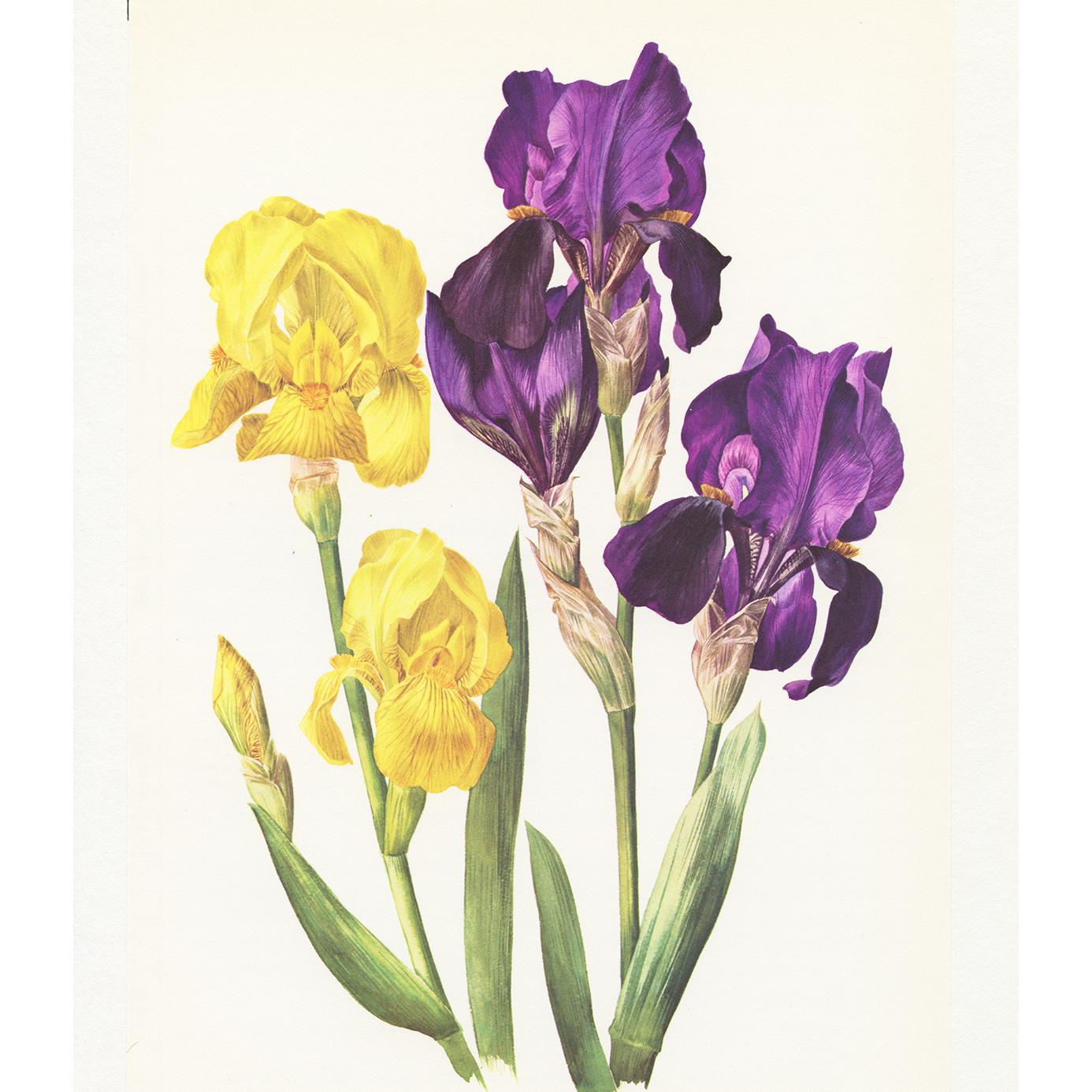 Purple and yellow iris poster- 1964 Vintage purple iris wall art ...