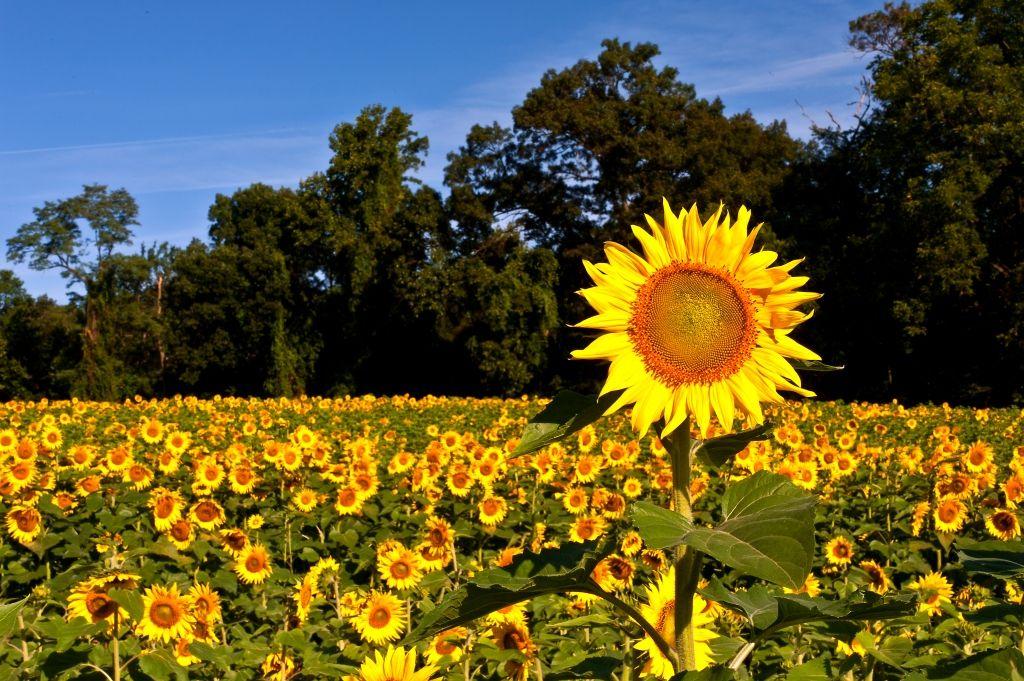 Sunflowers In Jarrettsville Maryland Sunflower Fields Sunflower Fields