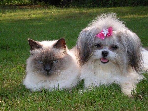 Mi Ki Puppies Mi Ki Photo Gallery Mi Ki Dogs For Sale Miki Puppies For Sale Mi Miki Dog Puppies And Kitties Puppies For Sale