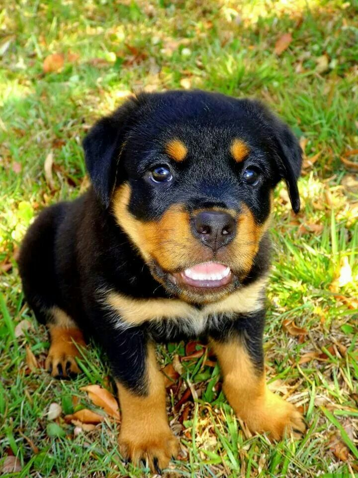 Rotty Pup Puppies Rottweiler Lovers Rottweiler Dog
