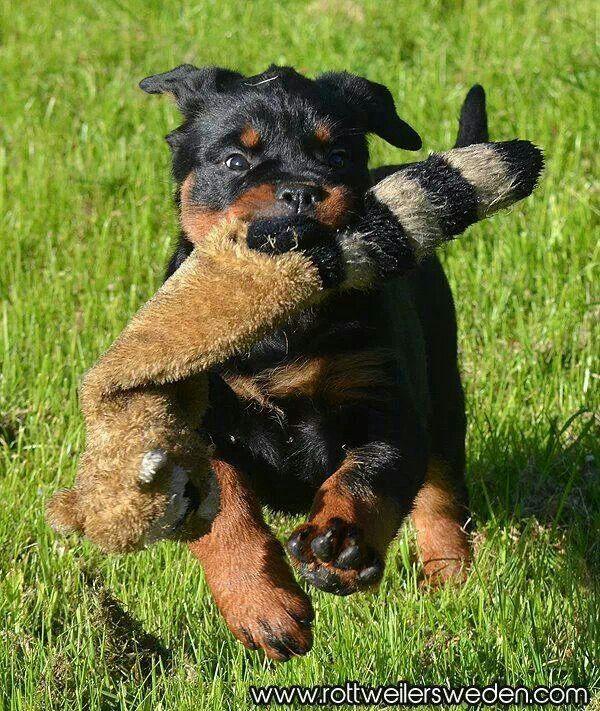 Running Rottweiler Puppy Dog Friends Rottweiler Love Dogs