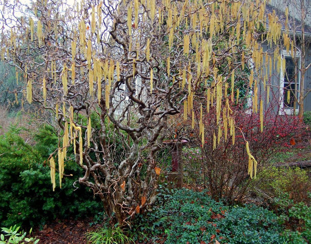 Harry lauder walking stick trees - Corkscrew Hazel Contorted Filbert Harry Lauder S Walking Stick With Yellow Catkins