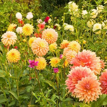 Flowers: How to Grow, Cut, and Arrange Them Dahlias/Hot water tx Make a fresh horizontal cut at the bottom of the stem and place the cut ends in about 2-3 inches of very hot (not quite boiling) water. Let the stems stay in the water for at least one hour. This hot-water treatment conditions the stems so the blooms will last four to six days.Dahlias...