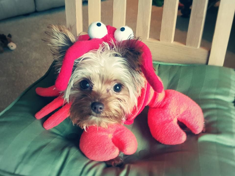 9fbd0bbaf5c7 Adorable Dog Costume: Reesie & Rolo as Ariel & Sebastian, The Little Mermaid.  Lobster Dog Costume. Puppy Mamma: Missy Chronicle