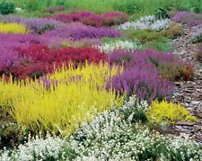 10 Mixed Colourful Heather Plants Collection Heathers In 9cm Pots Heather Plant Garden Shrubs Plants