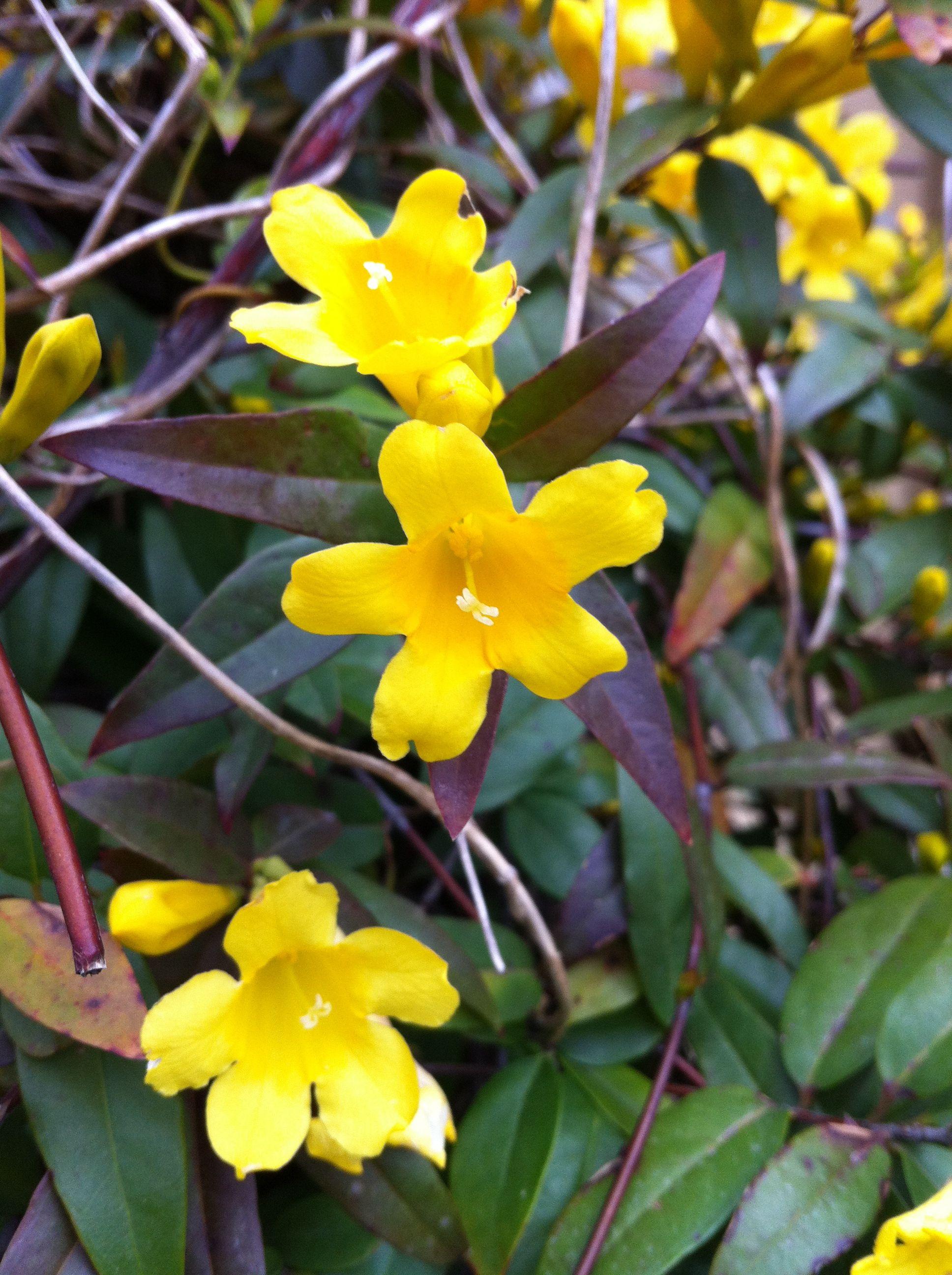 Yellow Jasmine South Carolina State Flower My Home Pinterest