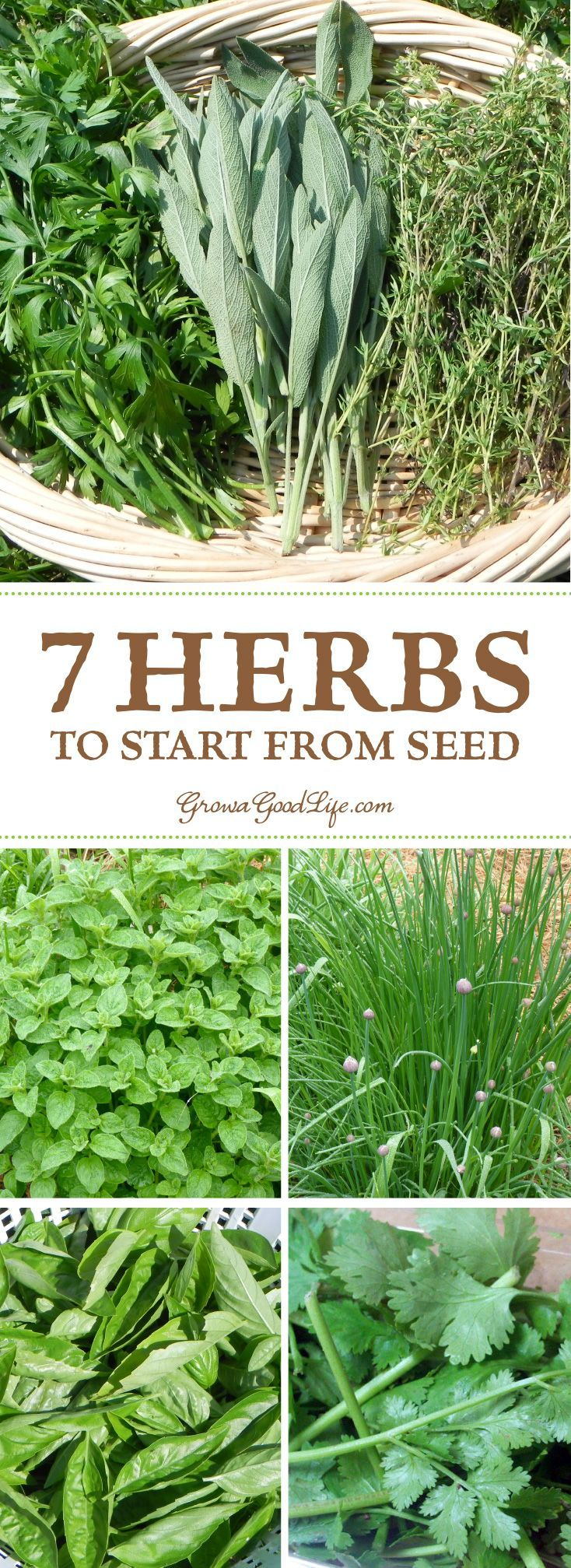 Growing Herbs: 7 Herbs to Start from Seed #herbsgarden