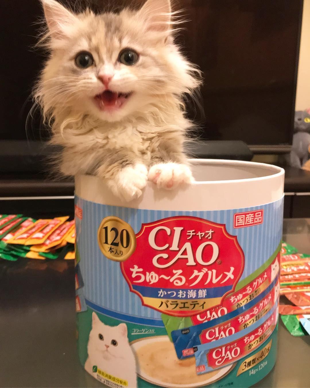 View chan♡ @c_chan_chan Instagram Photo パラダイス〜〜🤗🤗🤗 . ちゅーる 大人買い💕  アイリはまだ食べられないけど🤣 . . アイリ/2ヶ月/マンチカンダイリュート