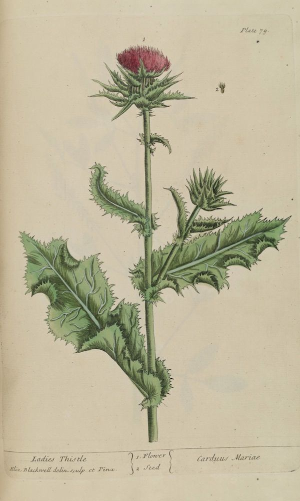 12++ Show picture of milk thistle ideas
