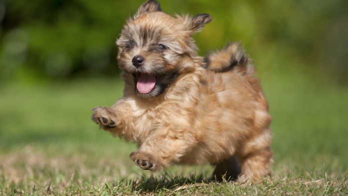 Top 15 Cutest Small Dog Breeds Cute Small Dogs Cutest Small Dog