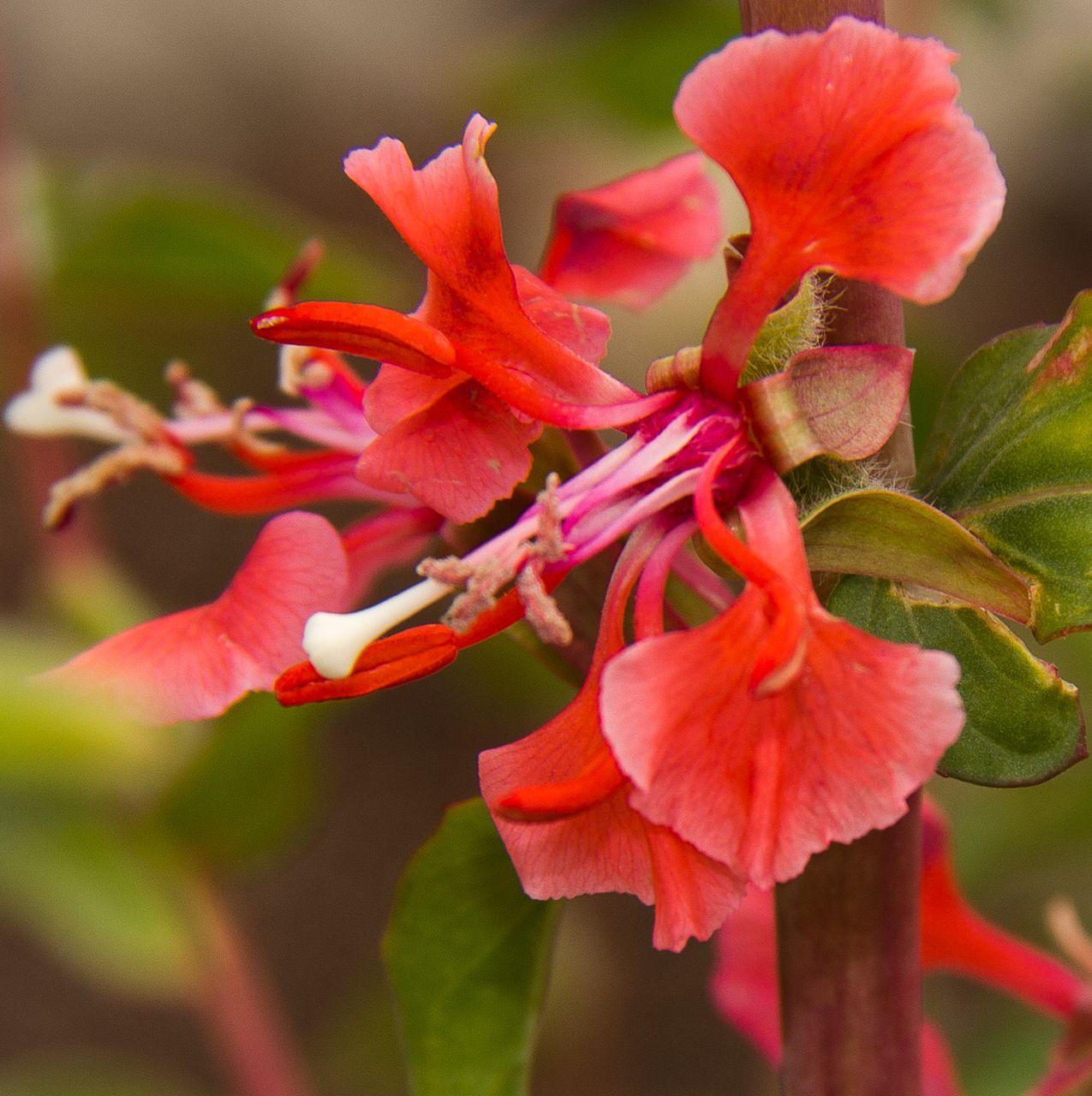 Clarkia Unguiculata Planting Flowers Plants Flowers