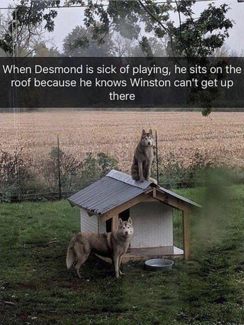 #huskies #dogs #dogmemes #doglovers #animals #animalmemes
