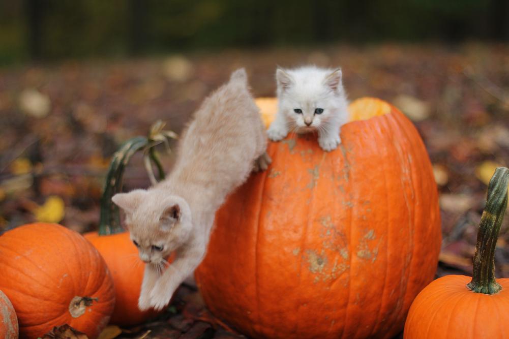Peppermint Frosted Pumpkins Kittens cutest, Fall cats
