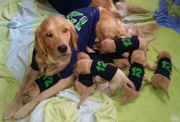 Seahawks fan Darlene Berning has outfitted her golden retriever Satya's litter with pup-sized 12 jerseys.
