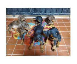 Six Doberman Pinscher for sale. They're 3 caramel brown/3