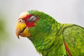 Image result for bird eyes closed | Parrot bird, Amazon parrot