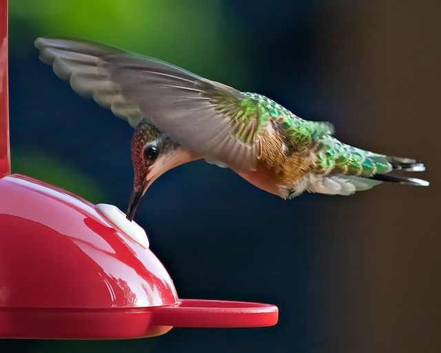 REIGNING HUMMINGBIRD AT THE FEEDER