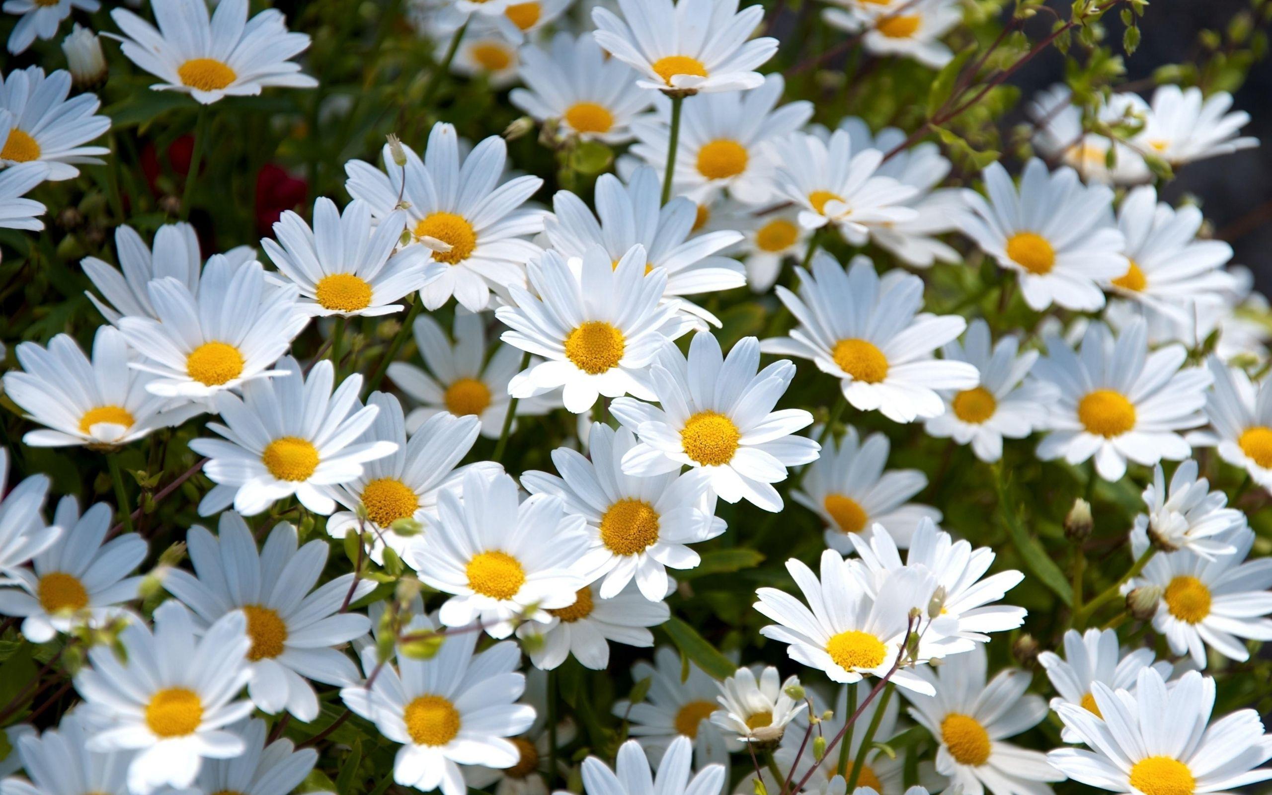 Daisy Wallpaper High Quality Daisy wallpaper, Daisy