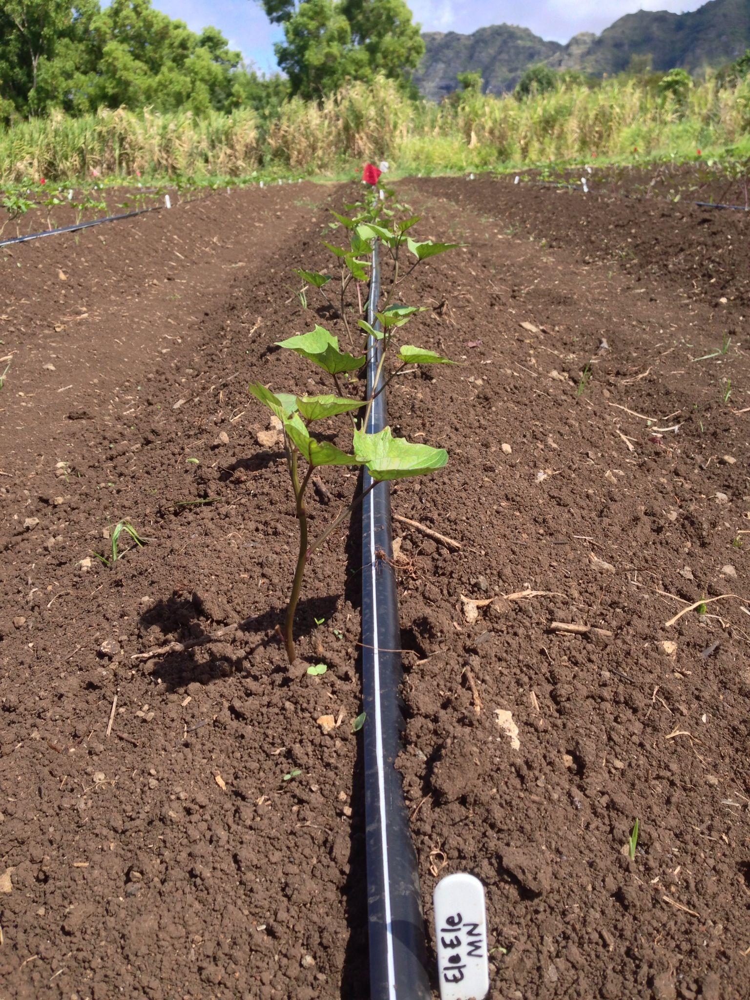 Sweet potato Garden tools, Garden, Outdoor power equipment